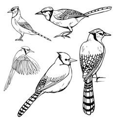Hand drawn birds blue jay sketch vector