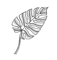 monstera leaf vector image