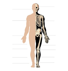 body and skeleton male vector image vector image