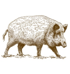 Engraving wild boar vector