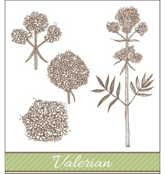 Hand drawn valerian vector