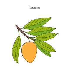 lucuma organic superfood vector image