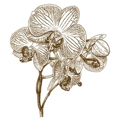 Engraving orchid vector