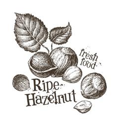 Hazelnut logo design template fresh walnut vector