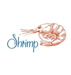 Sketch of red marine shrimp or prawn vector