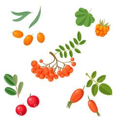 Rowan berries vector