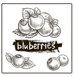 blueberry hand drawn set vector image