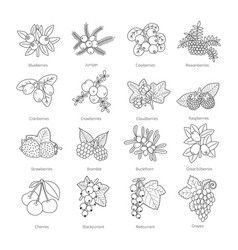 Set of outline doodle pied berries isolated on vector