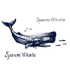 sperm whale animal on hunt for fish vector image