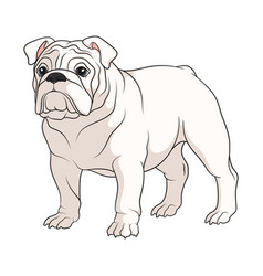 color a white english bulldog vector image
