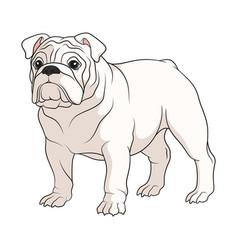 Color a white english bulldog vector