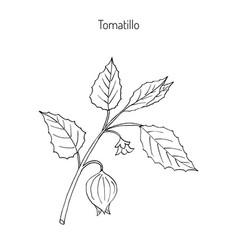 Tomatillo physalis philadelphica vector