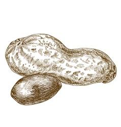 engraving peanuts pod vector image vector image