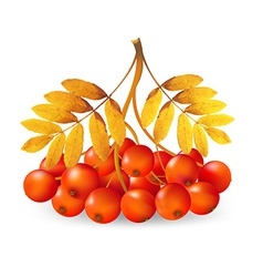 Ashberry vector image vector image