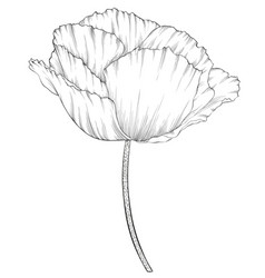 beautiful monochrome black and white poppy in a vector image