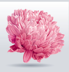 Luxurious pink aster flower vector