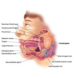 Parotid gland vector