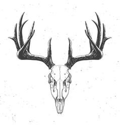 deer skull on white vector image
