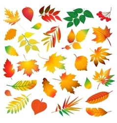 set of beautiful colorful autumn leaves Isolated vector image