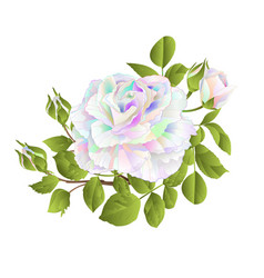 multicolored rose and buds on a white background vector image