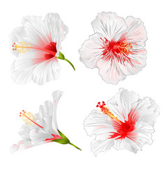 Hibiscus white flowers tropical plants vector