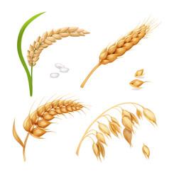 wheat barley rice and oats ears set vector image