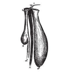 bustard gular pouch vintage vector image