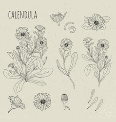Calendula medical botanical isolated vector