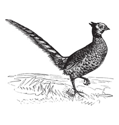 Common Pheasant vintage engraving vector image