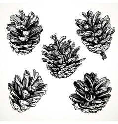Sketch drawing pine cones on white background vector