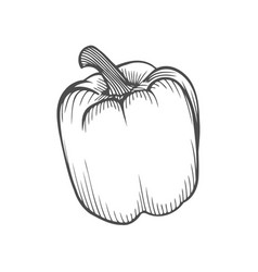 fresh sweet pepper vector image
