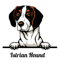 Head istrian hound - dog breed color image a vector