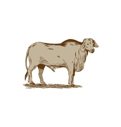 Brahman Bull Drawing vector image