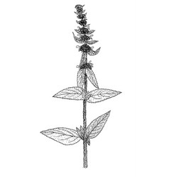 Stachys germanica plant vector