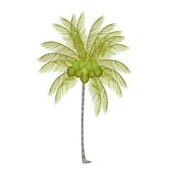 A Palm Tree with Fresh Green Coconuts vector image vector image