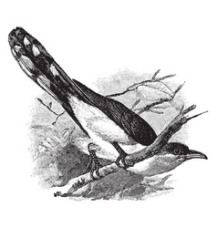 Yellow billed cuckoo vintage vector