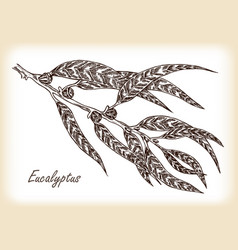 eucalyptus leaves hand drawn vector image