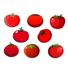 Fresh red isolated tomato vegetables vector image