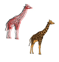 giraffes isolated on white vector image