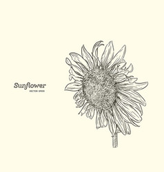 sunflower set of hand drawn sunflowers vintage vector image vector image