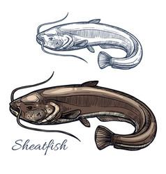 sheatfish or catfish sketch for food design vector image