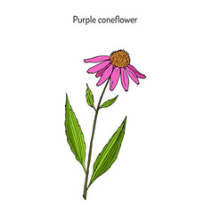 purple coneflower echinacea purpurea medicinal vector image