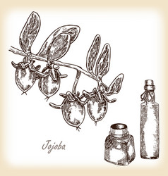 jojoba fruit with glass bottles vector image