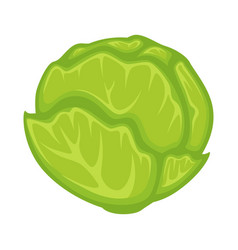 Green fresh cabbage vector