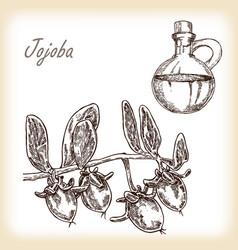 jojoba fruit with glass jar vector image