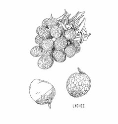 Lychee fresh tropical fruit element sketch vector