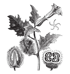 Thorn Apple engraving vector image