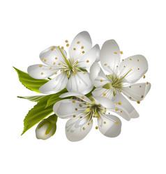 beautiful tender cherry flowers vector image vector image