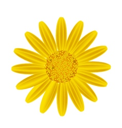 Yellow Daisy Flower on A White Background vector