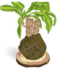 Dracaena fragrant on wooden vector